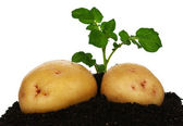 Potatoes with sprout — Stock Photo