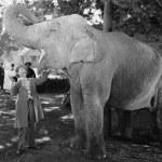 男子大开的嘴喂大象 — 图库照片