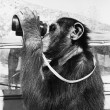 Chimpanzee looking through binoculars — Stock Photo