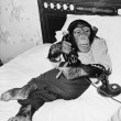 Chimpanzee sitting in bed on the telephone and smoking a cigar — Stock Photo