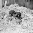 Two Chimpanzee kissing in the hay — ストック写真