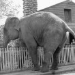 Elephant trying to cross over a picket fence — Stock Photo