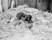 Two Chimpanzee kissing in the hay — Stock Photo
