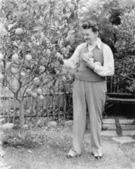 Man harvesting oranges from his tree — Stock Photo