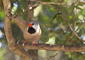 Shaft-tail Finch - Poephila acuticauda — Stock Photo