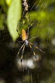 Golden silk orb-weaver spider — Stock Photo