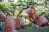 American Flamingo (Phoenicopterus ruber) — Stock Photo