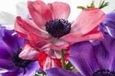 Cosmos herbaceous perennial plants — Stock Photo