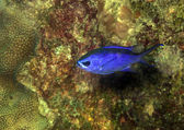 Chromis cyanea, Blue Chromi — Stock fotografie