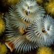 Stock Photo: Christmas tree worm (Spirobranchus giganteus)