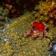 Cryptic teardrop crab - Stock Photo
