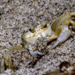 Atlantic Ghost Crab — Stock Photo