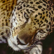 Jaguar Panthera in Southern Belize in reserve — Stock Photo