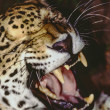 Jaguar Panthera in Southern Belize in reserve - Stock Photo