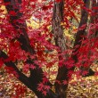 Stock Photo: Japanese maple tree, Acer palmatum