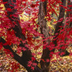 Japanese maple tree, Acer palmatum — Stock Photo #12207210