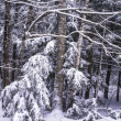 birch tree after snow stirm — Stock Photo