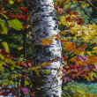 Betula papyrifera (Paper Birch) autumn - Stock Photo