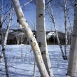 Stock Photo: New Hampshire; White birch trees in winter