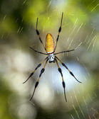 Golden silk orb-weavers (genus Nephila) — Stock Photo