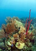 Coral Gardens Honduras — Stock Photo
