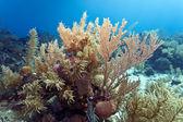 Coral reef off coast of Honduras — Stock Photo