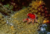 Cryptic teardrop crab — Stock Photo