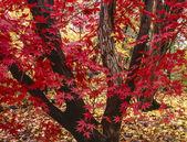 Drzewo klon japoński, klon palmowy — Zdjęcie stockowe