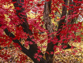 Japanese maple tree, Acer palmatum — Foto Stock