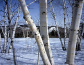 New Hampshire; White birch trees in winter — 图库照片