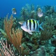 Coral reef Sergeant Major (Abudefduf saxatilis) — Stock Photo