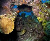 Coral reef - Green Moray (Gymnothorax funebris) — Stock Photo