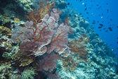 Gorgonian Sea fans Indonesia — Stock Photo