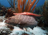 Tiger grouper & trumpet fish — Stock Photo