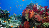 Soft coral reef scene — Foto Stock