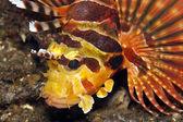 Shortfin lionfish — Stock Photo