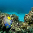 Queen Angelfish - Stock Photo