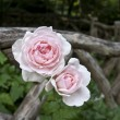 Shakespeare gardens pink roses — Stock Photo