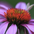 Echinacea (Echinacea Purpurea) Cone Flower — Stock Photo #12257074