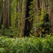 Redwood forext — Stock Photo #12257212
