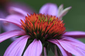 Echinacea (Echinacea Purpurea) Cone Flower — Stock Photo