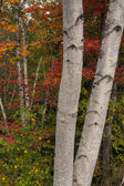Two white birches — Stock Photo