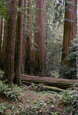 Northern California redwoon forest — Stock Photo
