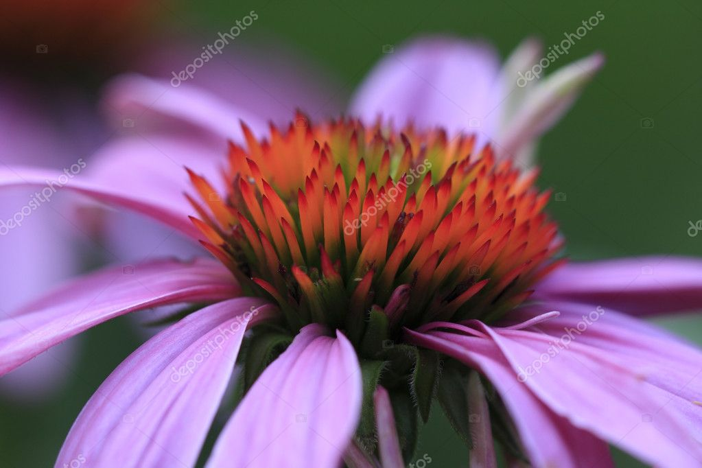 Echinacea (Echinacea Purpurea) Cone Flower — Stock Photo #12257073
