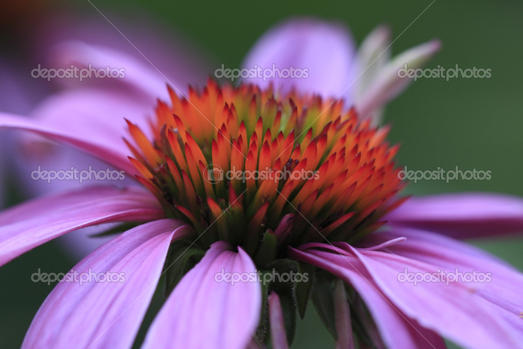 Echinacea (Echinacea Purpurea) Cone Flower  Stock Photo #12257074