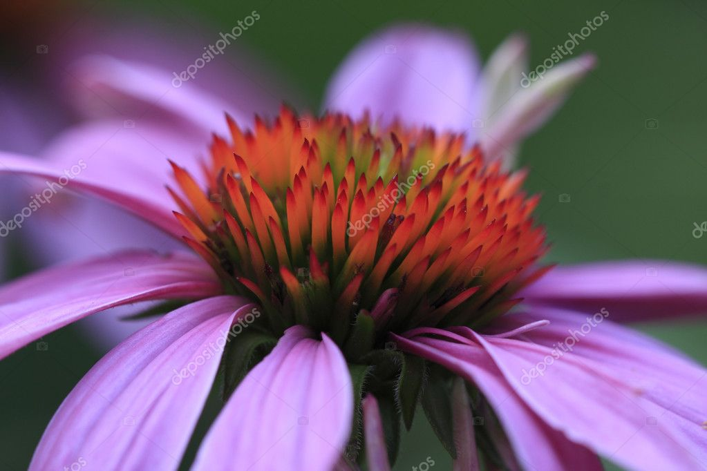 Echinacea (Echinacea Purpurea) Cone Flower — Photo #12257074