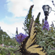 The two-tailed Tiger Swallowtail, Papilio multicaudata  butterfl - Stock Photo