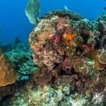 Постер, плакат: Caribbean Reef Octopus Octopus briareus
