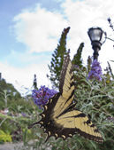 The two-tailed Tiger Swallowtail, Papilio multicaudata butterfl — Stock Photo