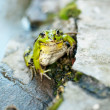 Frog on the rocks near a pond — Stock Photo